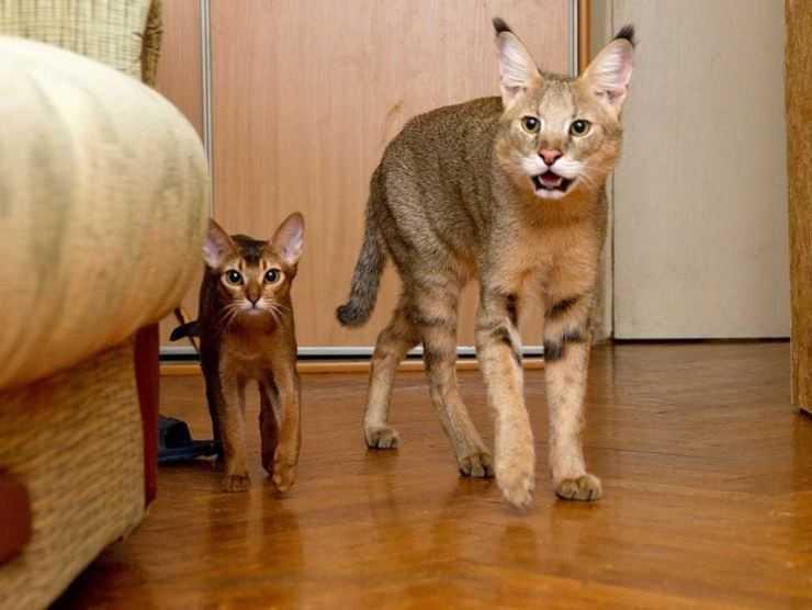 Чаузи — обзор породы, характер и особенности разведения. Цена за котенка и советы по выбору породистой кошки (115 фото)