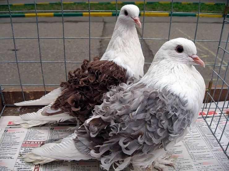 Домашние голуби: описание, виды, особенности и специфика содержания и разведения (фото + видео)