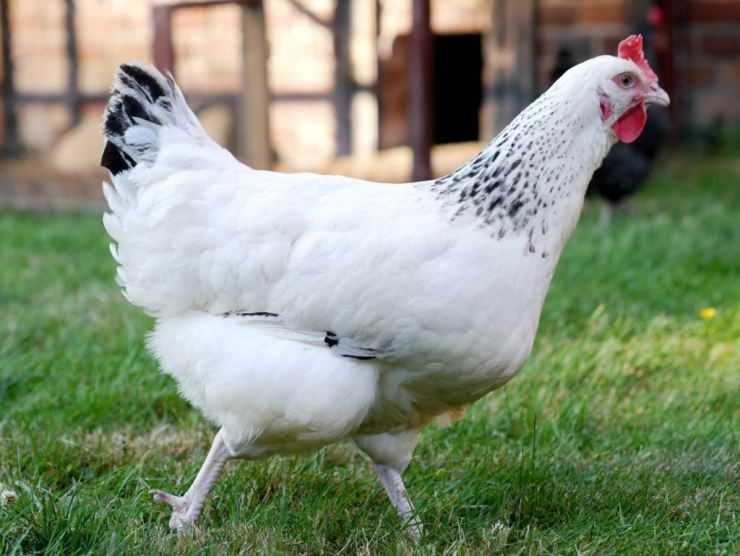 Домашняя курица — самая многочисленная домашняя птица, виды, описание, особенности содержания