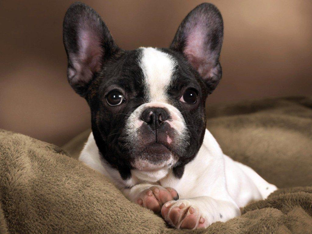долгое французская собака фото певицы комментариях