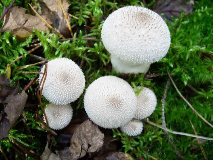 Гриб дождевик — описание, виды, особенности, полезные свойства и кулинарная ценность необычного гриба.