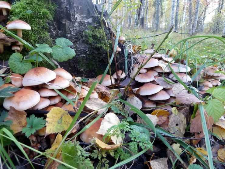 Опята — виды, особенности, полезные свойства, где растет, как собирать и как отличать от ложных популярный гриб