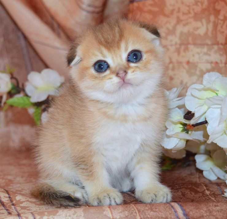 Хайленд фолд - фото и описание породы кошек (характер, уход и кормление)