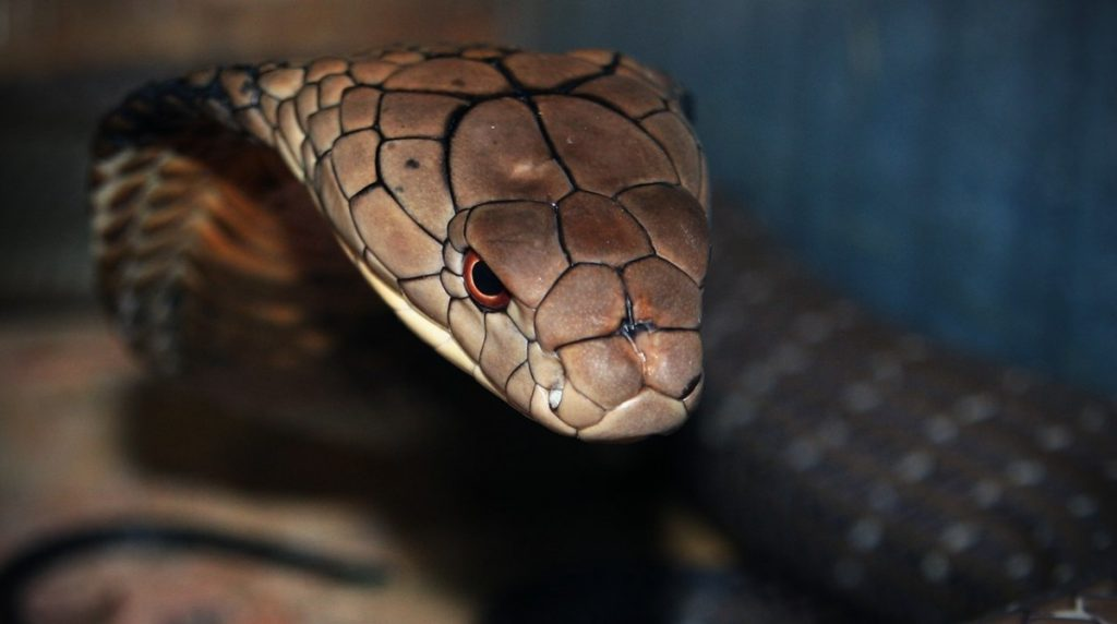 декоративной фото змеи королевская змея шары