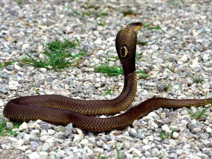 Индийские змеи — фото, описание, характеристики и повадки змей чей ареал территория индии
