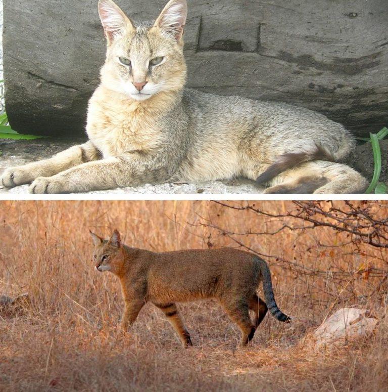 показать фото камышовой кошки и ее рост окончания