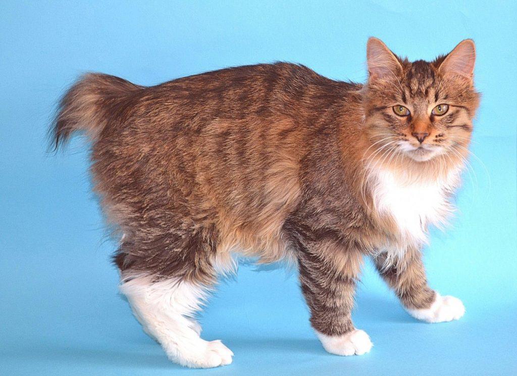 длиною картинки курильских бобтейлов кошек ваши