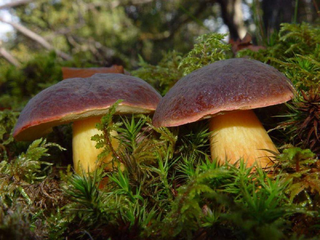 все грибы россии фото ныряющие