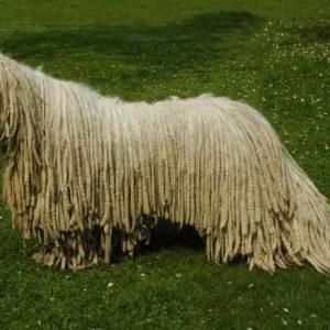 Комондор — уход, содержание, дрессура и воспитание щенков. 115 фото венгерских овчарок и видео описание особенностей породы