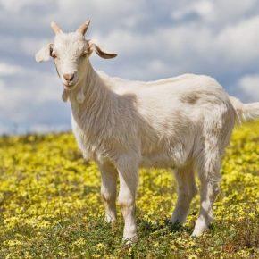 Коза домашняя — обзор особенностей содержания коз, как ухаживать и чем кормить а также болезни, лечение и профилактика болезней в обзоре!