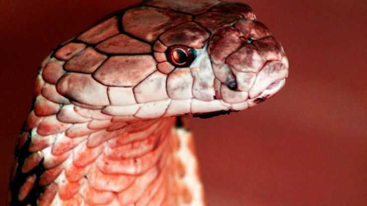 Красная змея — описание основных видов, особенности и повадки рептилий с красным цветом окраса