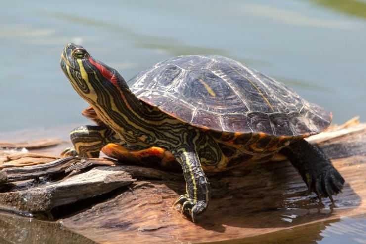 Красноухая черепаха — описание вида, как определить пол а также особенности содержания черепашек +125 фото