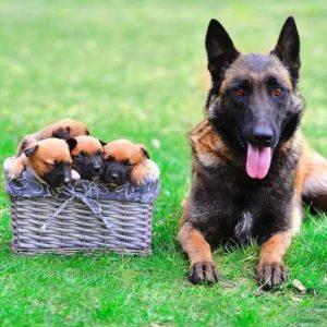 Лакенуа — пушистая и необычная порода собак! (100 фото + отзывы владельца): описание породы, характер, содержание, цена щенков