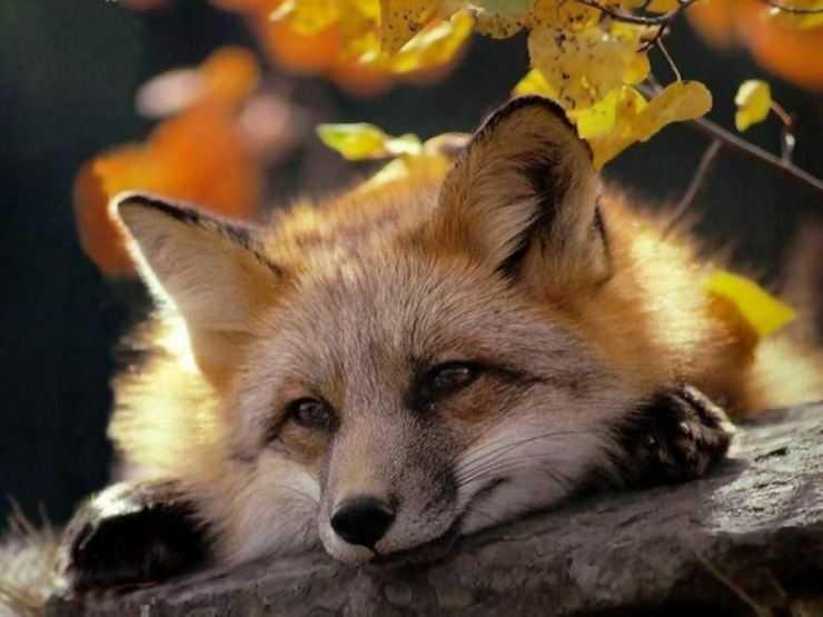 Лиса (лисица)- виды, особенности, как выглядит, где живет, что ест + интересные факты от животных