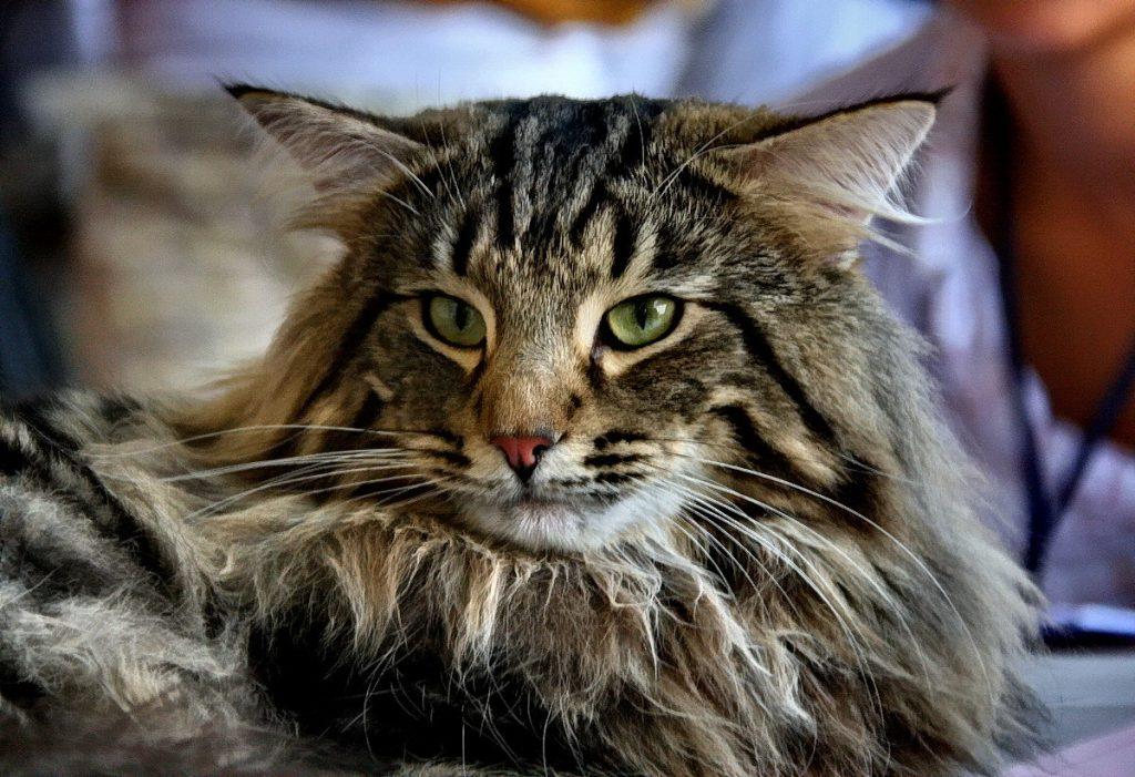 компания предлагает лесная скандинавская кошка фото представляет