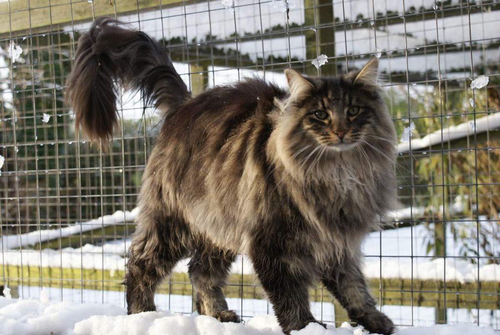лесная скандинавская кошка фото смену