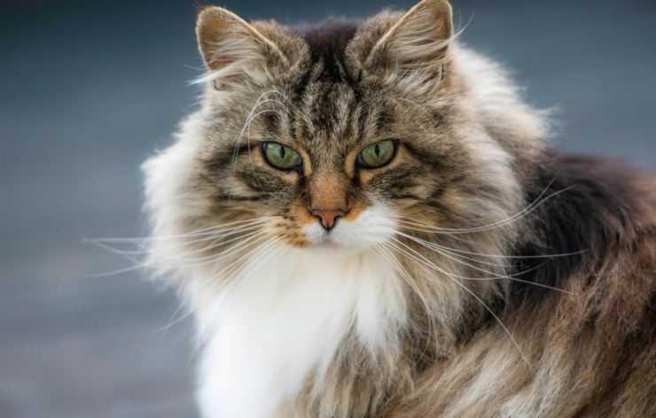 Норвежская лесная кошка: описание, характер, уход и советы по покупке котенка (125 фото + видео)