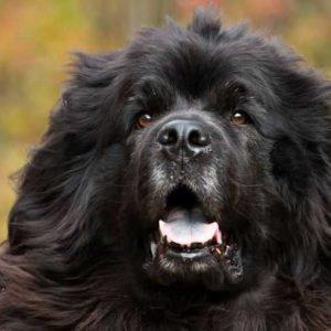 Ньюфаундленд — 145 фото и видео описание породы собак. Советы по выбору и уходу за породой