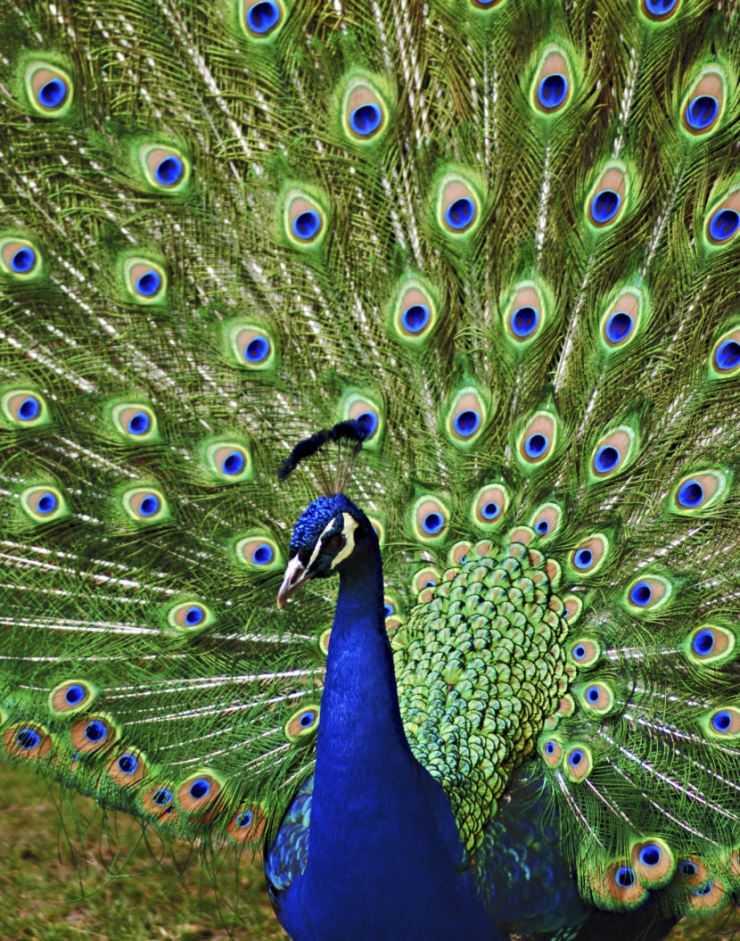 Птицы похожие на павлина