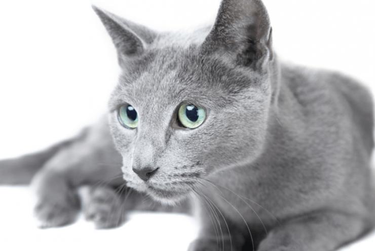 Русская голубая кошка: уход, описание породы, характер, цена и особенности внешности (90 фото)