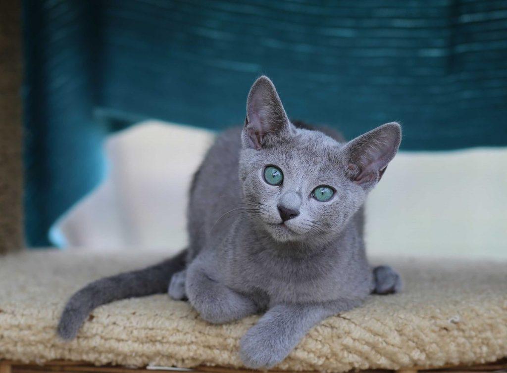 Русская голубая порода кошек фото
