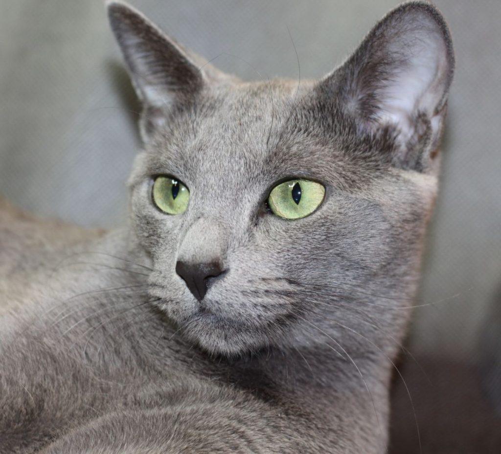 русская сибирская кошка фото голубая гостиницы