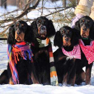 Шотландский сеттер — содержание, особенности, нюансы породы и стандарты охотничьей собаки (100 фото)
