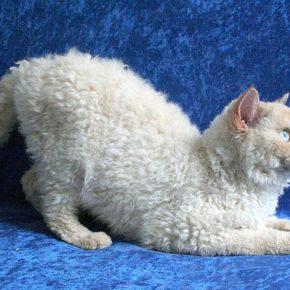 Селкирк Рекс — 95 фото, описание, характер и особый уход за этой породой кошек