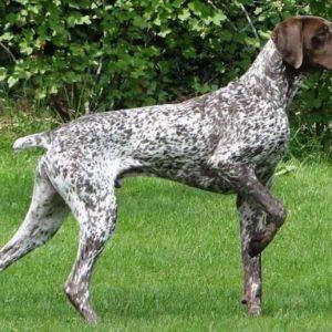 Собака пойнтер: 95 фото собаки, видео, характер, история, цена, описание, стандарты, окрас, отзывы владельцев, все за и против породы пойнтер