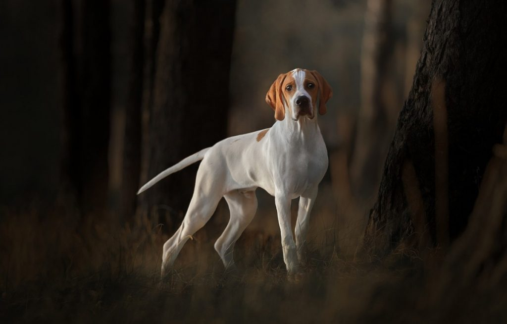 пойнтер собака фото щенки
