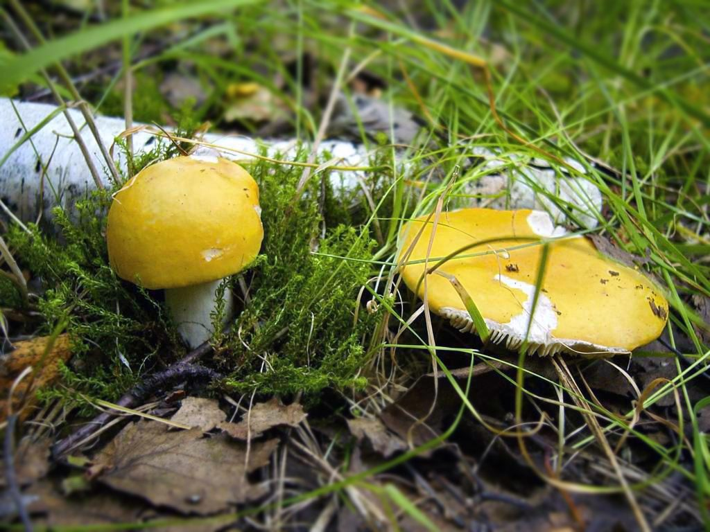 сыроежки фото грибов съедобные этого