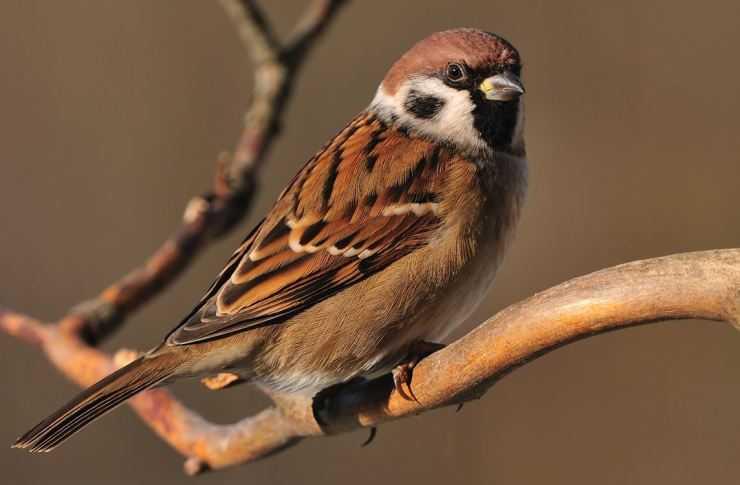 Воробей (120 фото) — подробное описание птицы: образ жизни,среда обитания, видео, рацион, враги + интересные факты