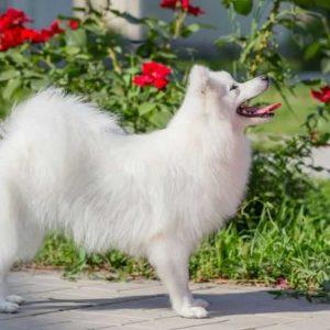 Японский шпиц: 115 фото, видео описание, цена и советы по выбору породистого щенка