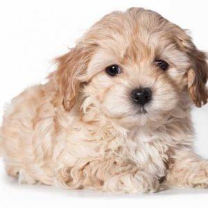 Собака породы мальтипу — все о собаке от А до Я. Фото, описание породы, характер, особенности содержания, цены, отзывы