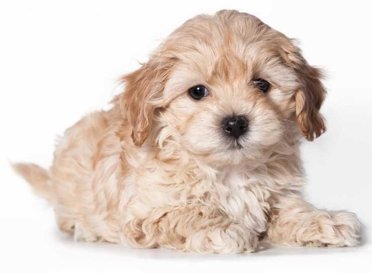Собака породы мальтипу 🐶- все о собаке от А до Я. Фото, описание породы, характер, особенности содержания, цены, отзывы